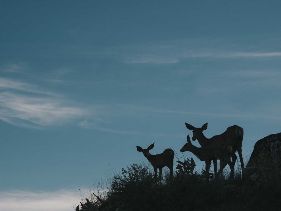 silhouette of family of deer