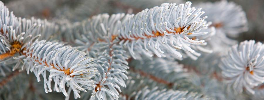icy fir branch