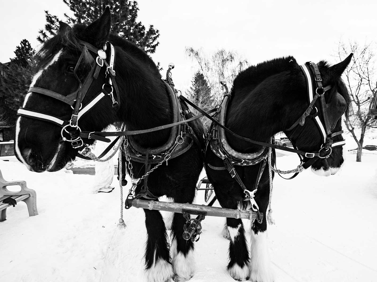 Sleigh ride horses